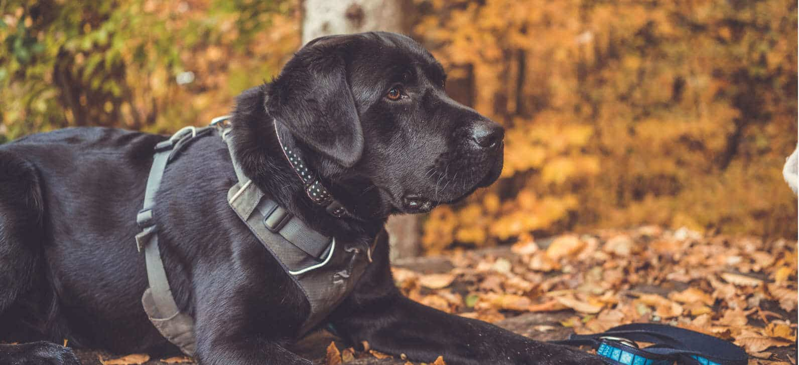 A Labrador Retriever with a harness laying in the woods