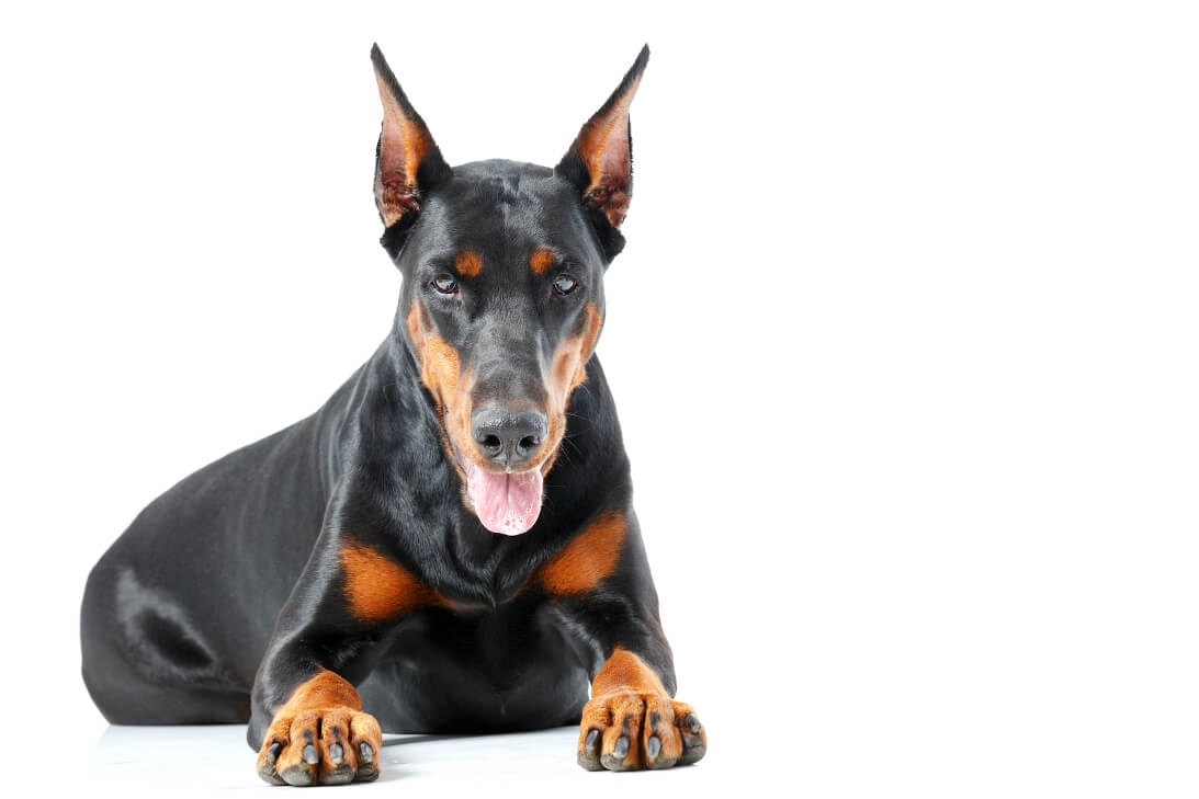 Lying dobermann pinscher on isolated background.