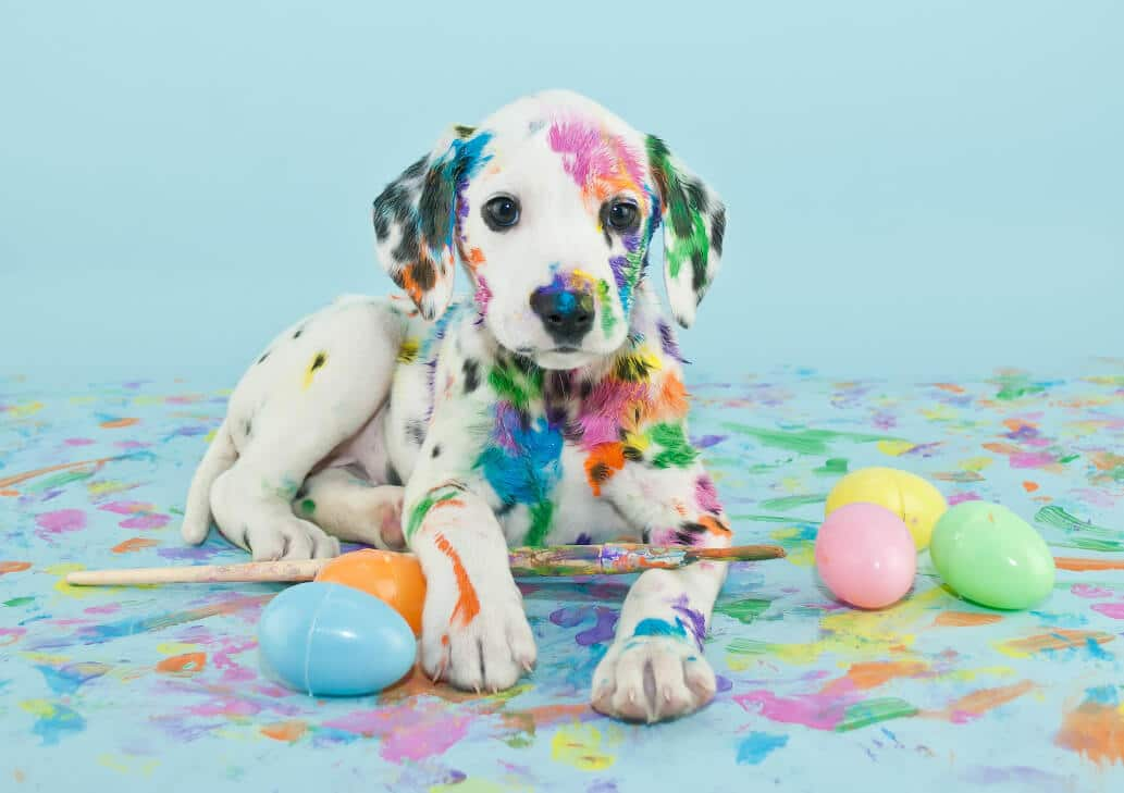 A funny little Dalmatian puppy that looks like he just painted some Easter eggs.