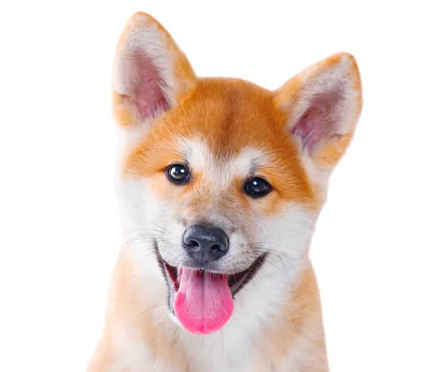 Why Do Akitas Howl? The Full Guide