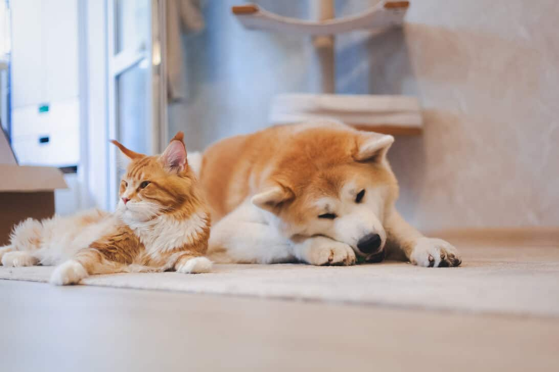 Akitas and Cats, what to know before you put them together