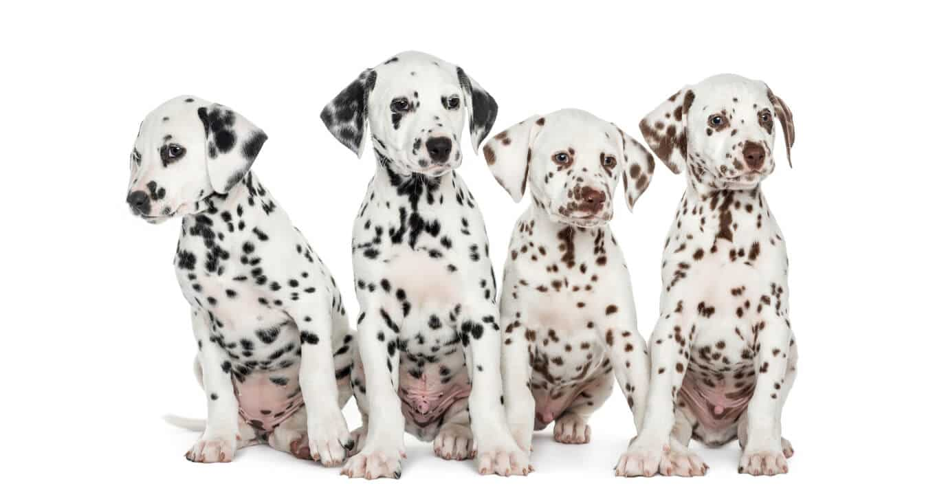 Group of brown spotted and black spotted Dalmatians