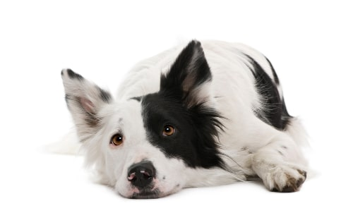 A border collie that is bored