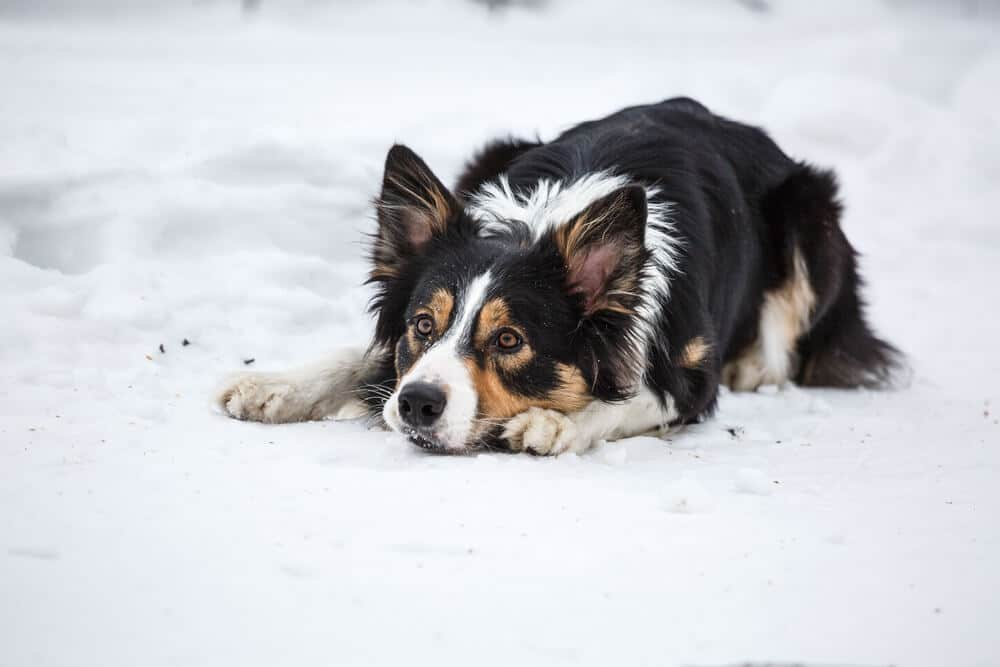 Tricolor border collie in the snow