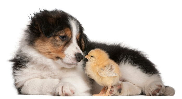 Border Collie puppy, 6 weeks old, playing with a chick