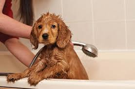 How to bathe a puppy