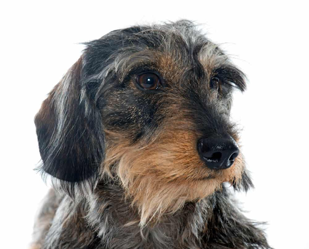 dog with wiry hair