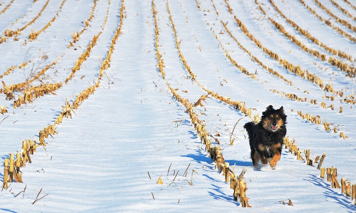 Black and tan finnish spitz running in the snow