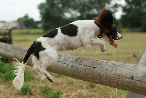 Jumping over-the fence dog