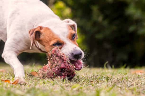 Dog chewing on a bone in the grass