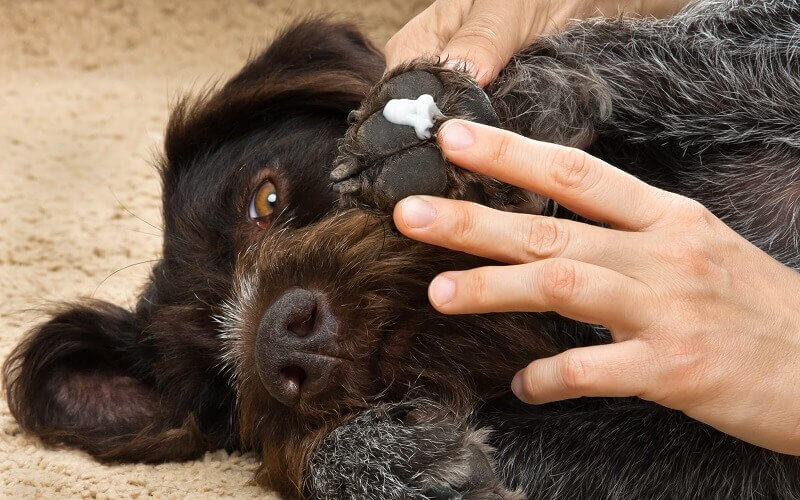 Dog with lotion on his paw
