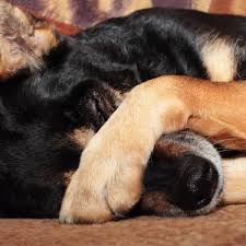 Dog rubbing his nose