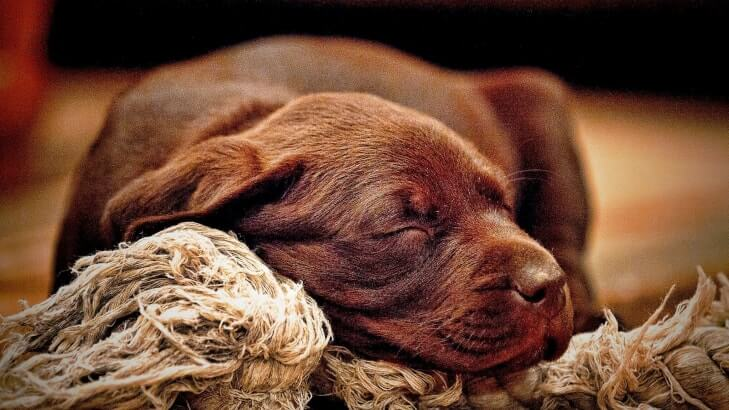 Chocolate labrador retreiver puppy sleeping on a rope