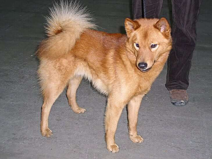 Brown Finnish Spitz