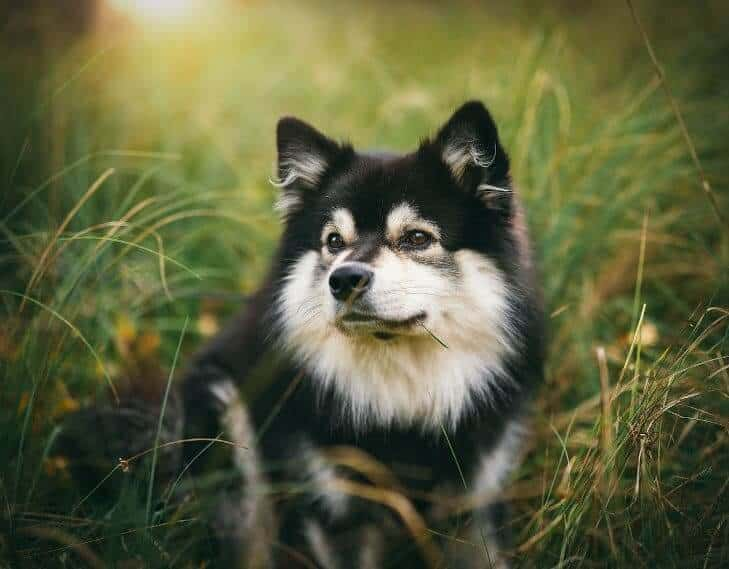 black and white finnish lapphund sitting on grass field
