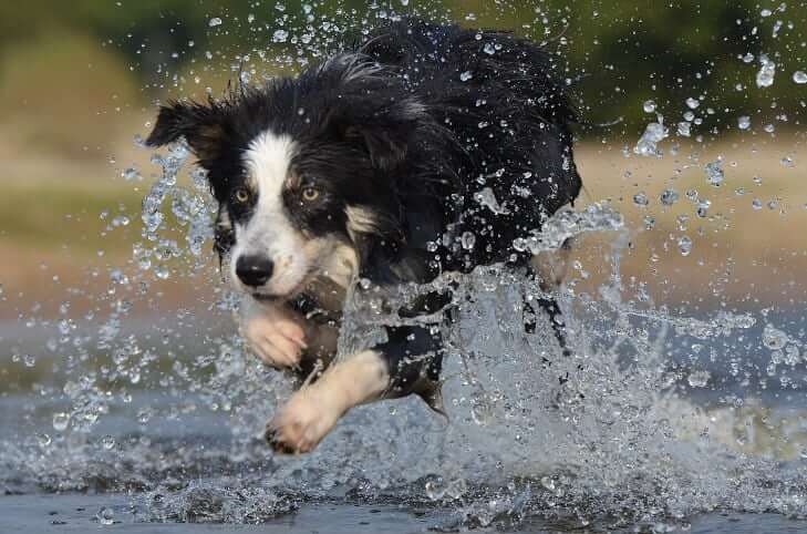 border collie running through the water