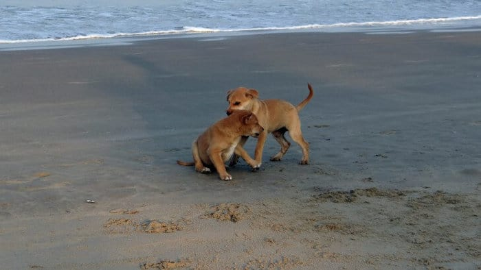 Two puppies playing at the beach