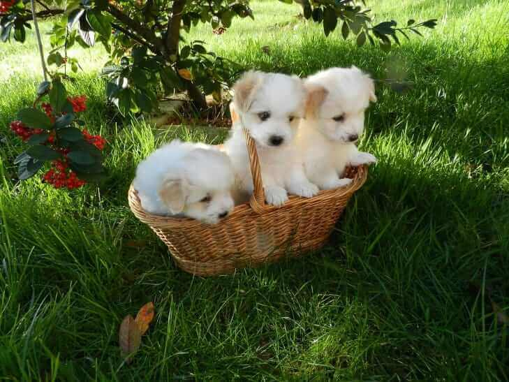 3 puppies in a basket in the field