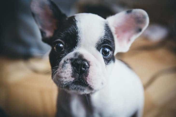 French Bulldog puppy staring in the camera