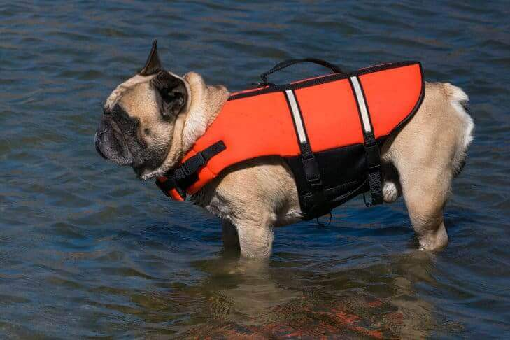 French bulldog in life jacket standing in water