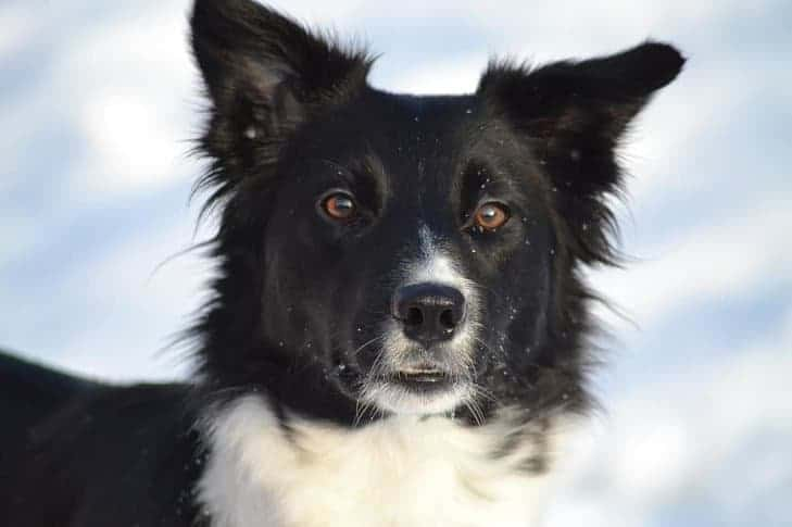 Border Collie in the winter