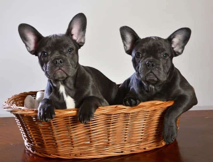 Two French Bulldogs in a dog bed
