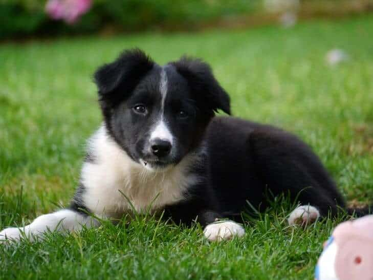 Border Collie puppy in the field