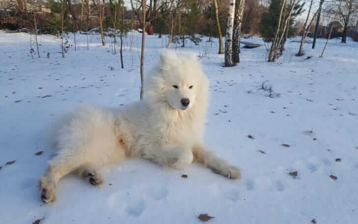 White long coated dog laying down in the snow