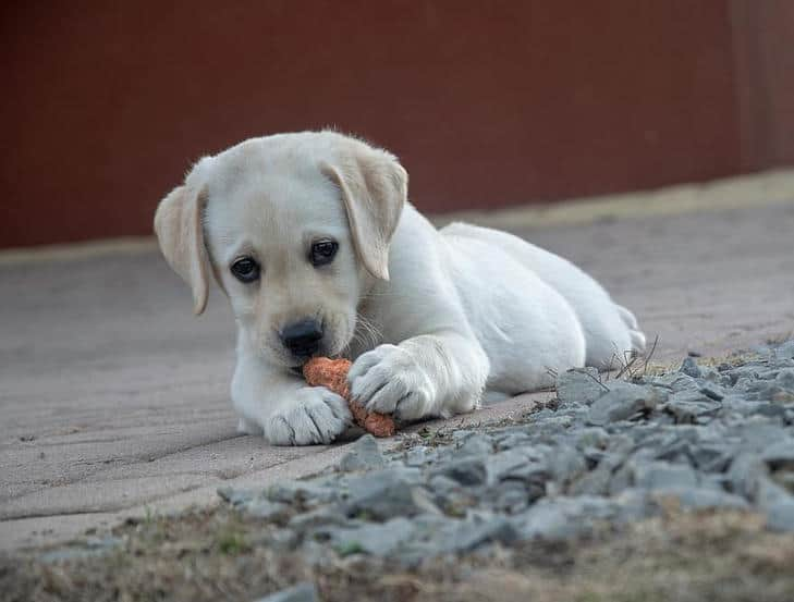 Labrador puppy eating a carrot