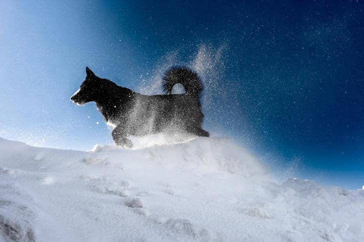 Black dog running in the evening snow