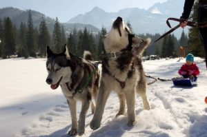Sled dogs in front of sled with a little boy