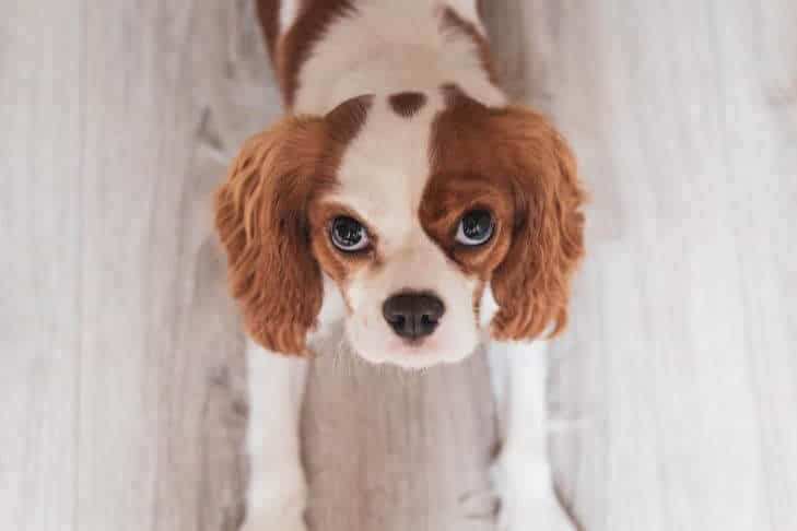 cavalier kingcharles spaniel on the floor looking up