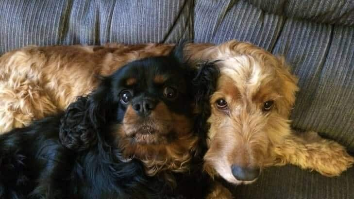 King Charles Spaniel and Cocker Spaniel together on the couch